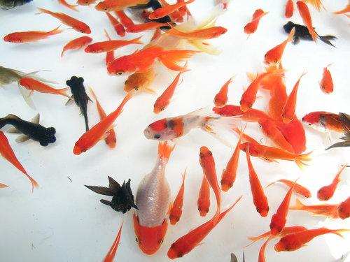 請教金魚品種名稱...... - 錦鯉金魚圖片區- 老爹孔雀魚水族寵物交流網-